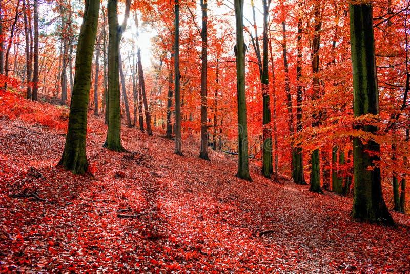 De bomen met de rode herfst doorbladert in Sonian-Bos stock foto's