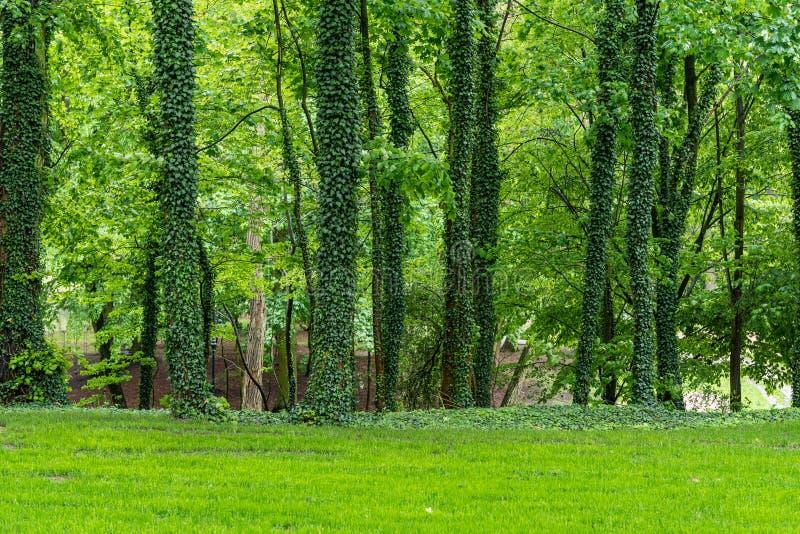 De bomen in park in klimop wordt behandeld die Groene natuurlijke achtergrond stock foto