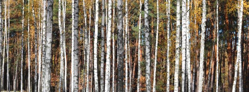 De bomen van de berk in de Herfst stock foto
