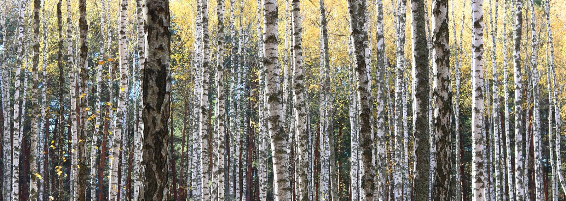 De bomen van de berk in de Herfst stock afbeelding