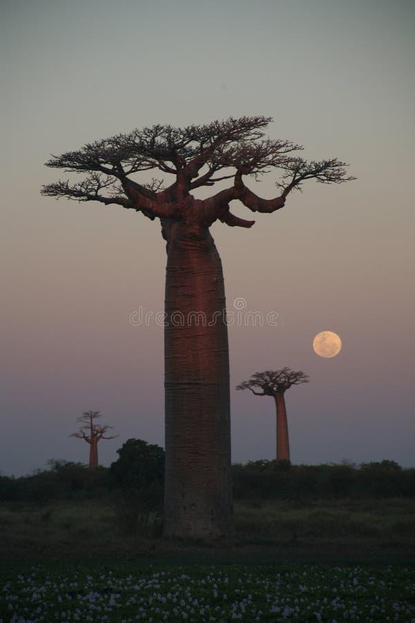 De bomen van Boabab royalty-vrije stock fotografie