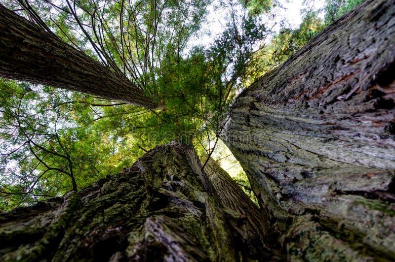 De bomen van de Californische sequoia'sceder in Californië de Verenigde Staten van Amerika royalty-vrije stock afbeeldingen