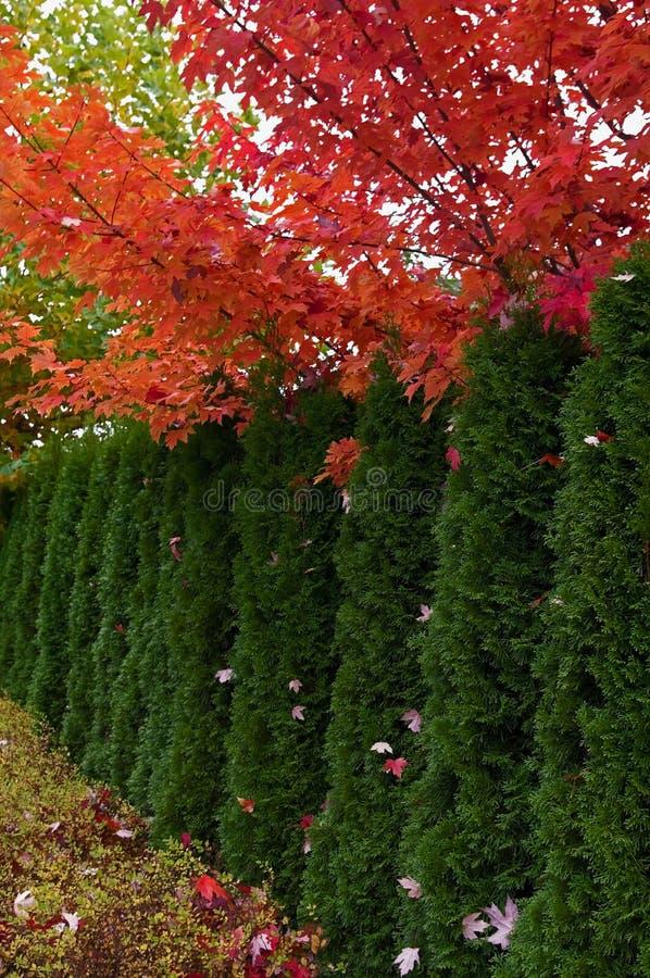 De bomen van Cedar Hedge en van de Esdoorn stock fotografie