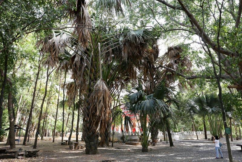 De bomen van coryphalecomtei bij de tempel van Manee Kwan Chai in Saraburi, Thailand stock fotografie