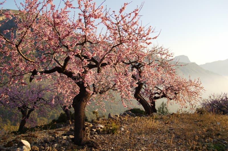 De bomen van de amandel stock foto