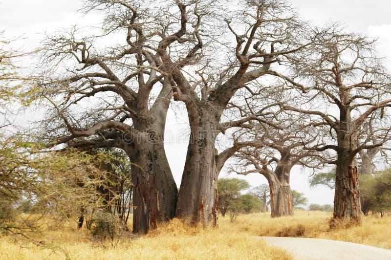 De bomen van de baobab stock afbeeldingen