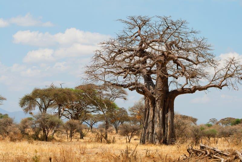 De Bomen van de baobab royalty-vrije stock afbeelding