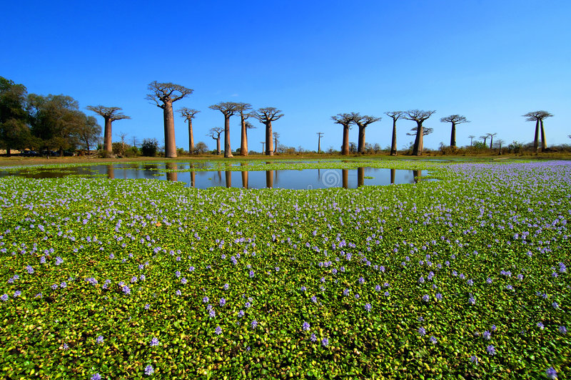 De bomen van de baobab stock foto