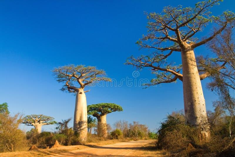 De bomen van de baobab, Madagascar stock afbeelding