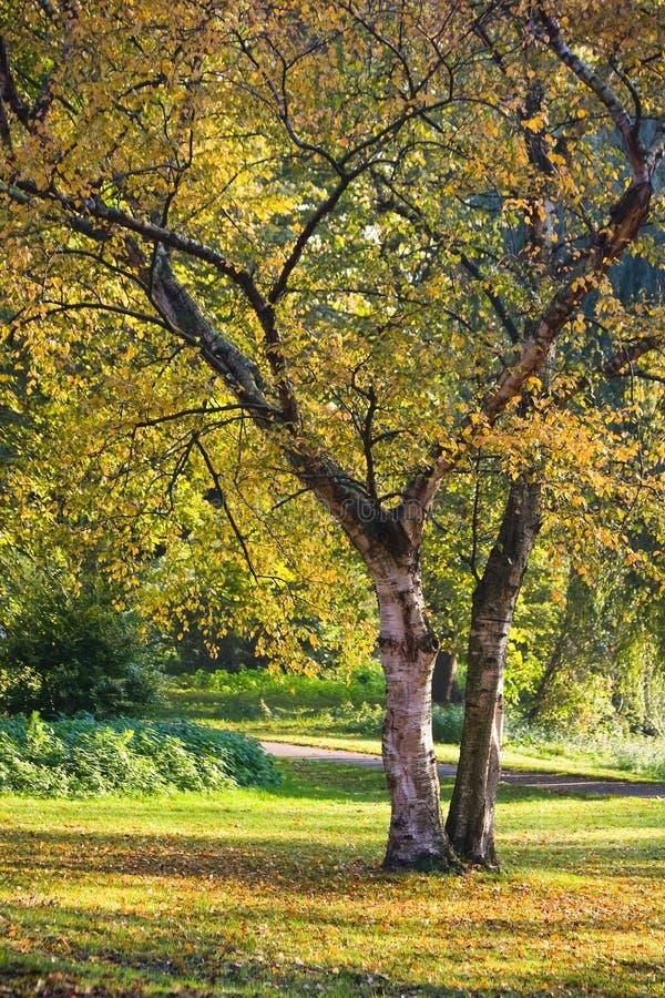 De bomen van de berk in daling van het park stock afbeelding