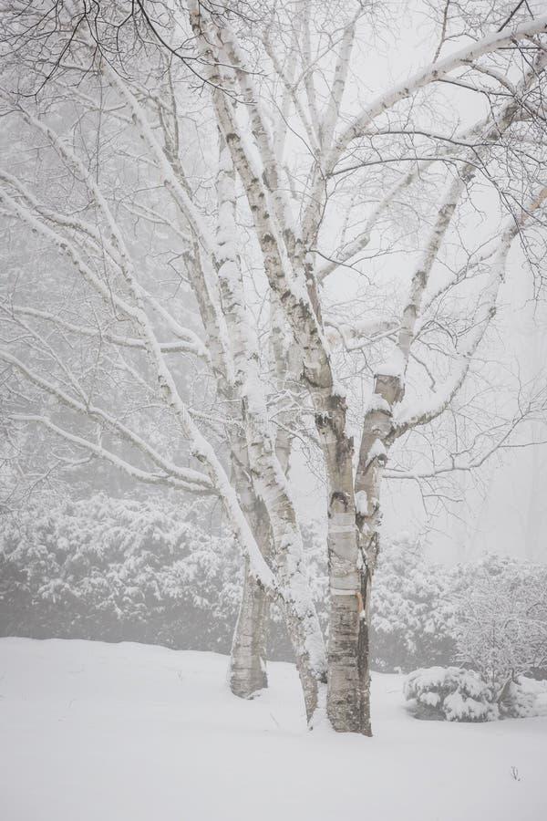 De bomen van de berk in de winter stock fotografie