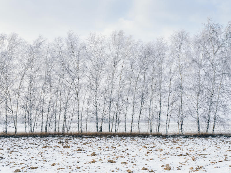 De bomen van de berk die met sneeuw worden behandeld stock foto