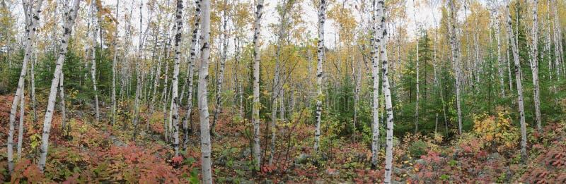 De Bomen van de berk en van de Pijnboom stock fotografie