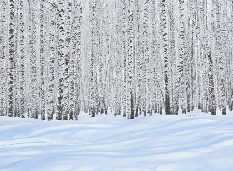 De bomen van de berk in sneeuw royalty-vrije stock afbeelding