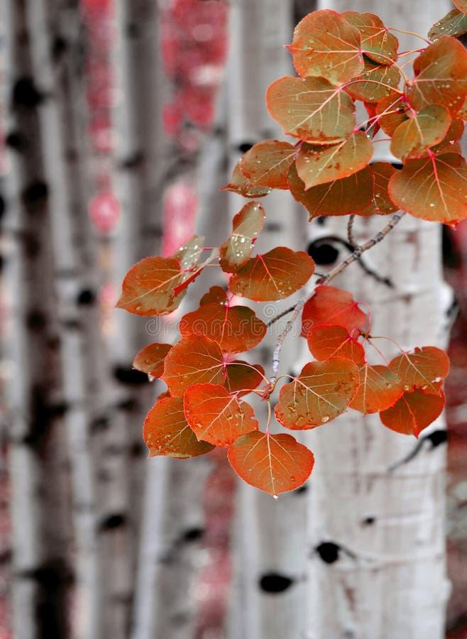 De Bomen van de Berk van de esp in Daling royalty-vrije stock afbeeldingen