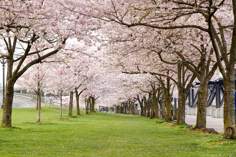 De Bomen van de Bloesem van de kers in het Park van de Waterkant royalty-vrije stock afbeeldingen