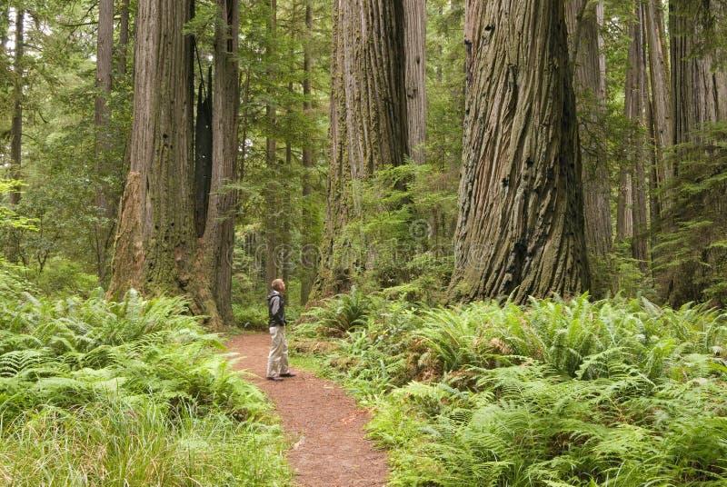 De bomen van de Californische sequoia met wandelaar die omhoog kijkt. stock foto's