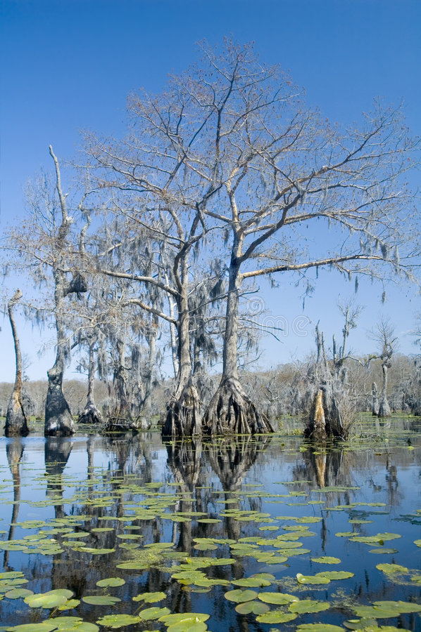De bomen van de cipres en lilypads royalty-vrije stock fotografie