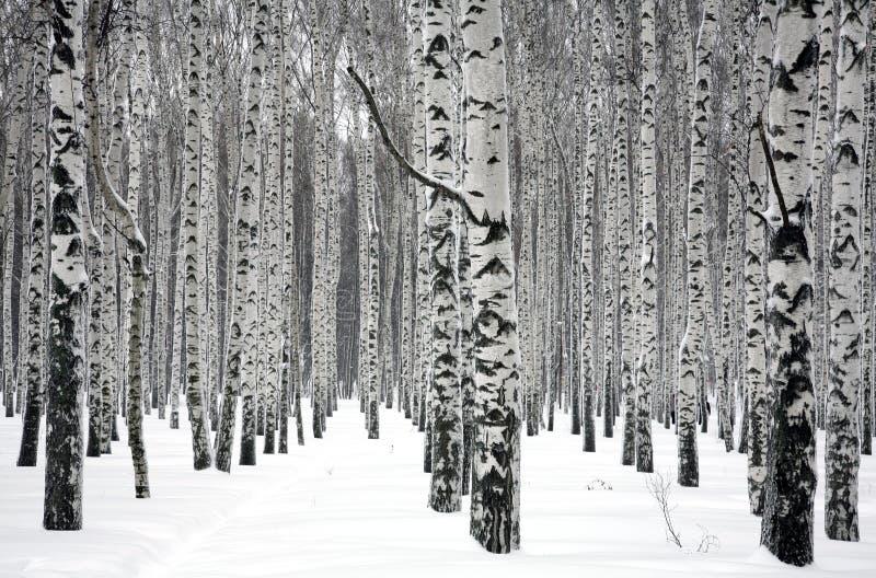 De bomen van de de winterberk stock afbeelding