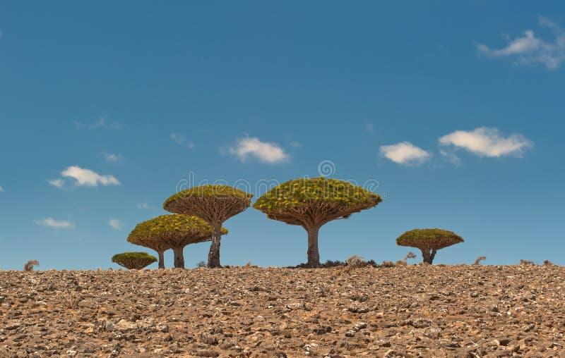 De bomen van de draak bij Dixam plateau, Socotra, Yemen stock afbeeldingen