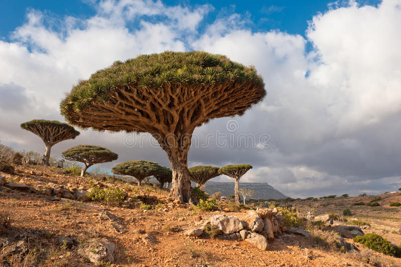 De bomen van de draak bij Homhil plateau, Socotra, Yemen stock afbeelding
