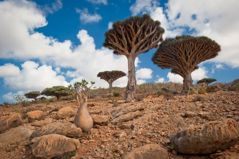 De bomen van de draak bij Homhil plateau, Socotra, Yemen stock fotografie