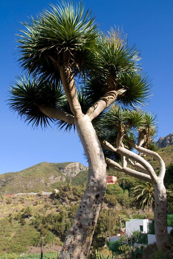 De Bomen van de Draak van Canarische Eilanden stock afbeeldingen