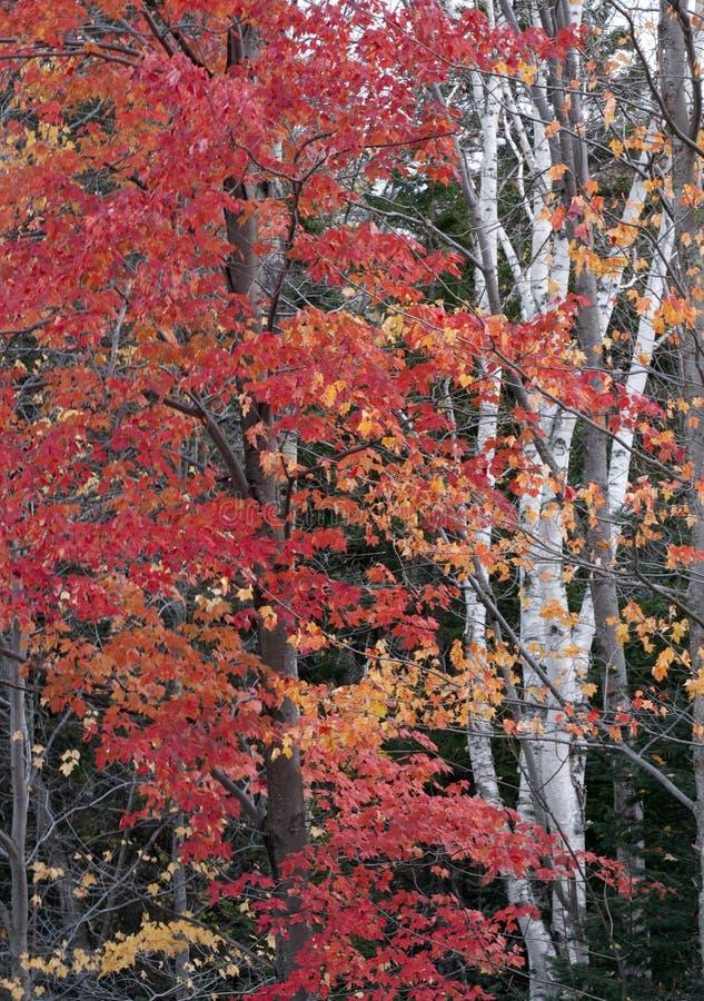 De bomen van de esdoorn en van de berk royalty-vrije stock afbeeldingen