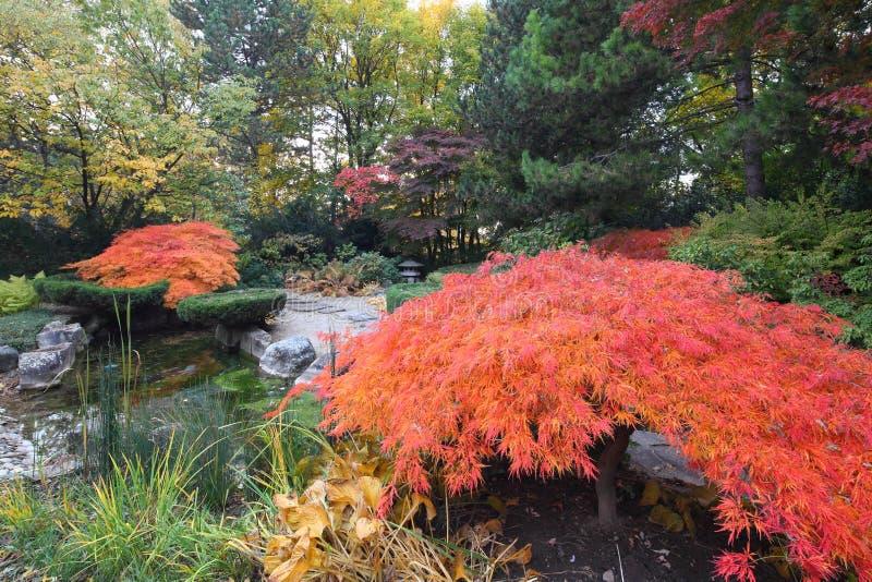 De bomen van de esdoorn in Japanse tuin royalty-vrije stock foto's