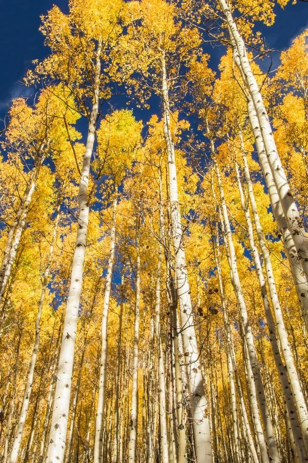 De bomen van de esp in daling royalty-vrije stock fotografie
