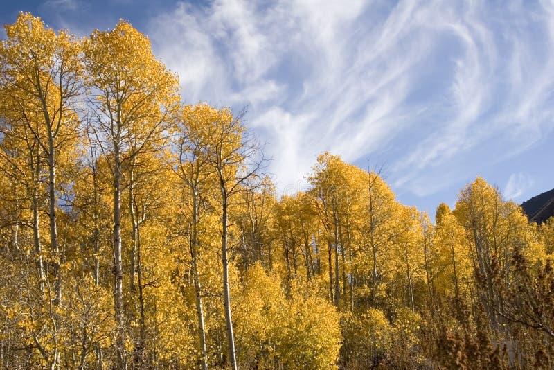 De bomen van de esp in de herfst royalty-vrije stock foto's
