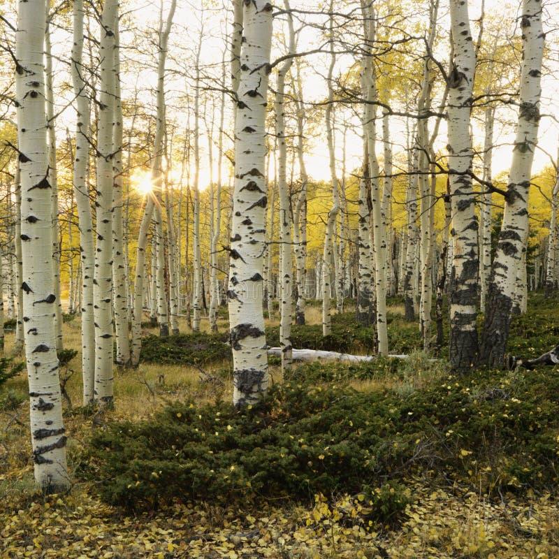 De bomen van de esp in de kleur van de Daling stock foto's