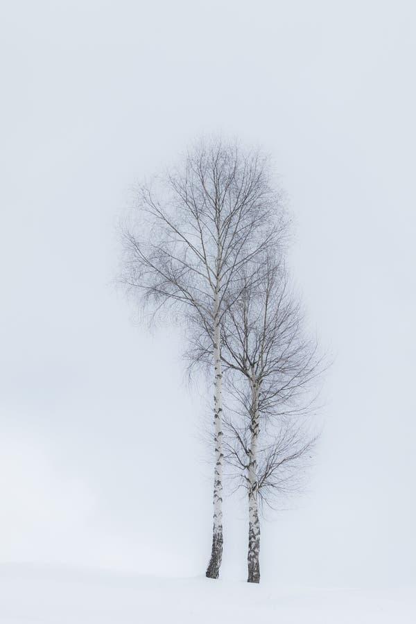 De bomen van de esp in de winter stock foto