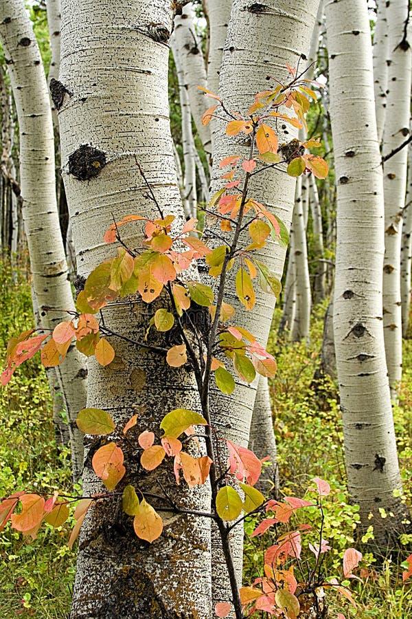 De bomen van de esp met rode struik royalty-vrije stock foto's