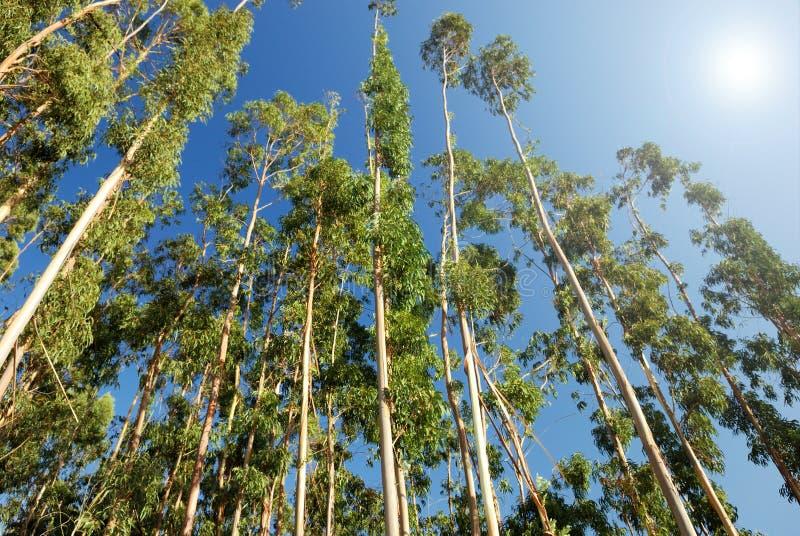 De bomen van de eucalyptus royalty-vrije stock foto