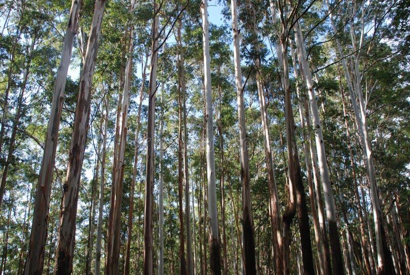 De bomen van de eucalyptus stock afbeeldingen