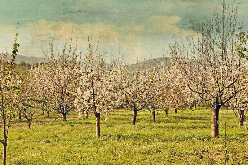 De bomen van de kers in de lentebloesem royalty-vrije illustratie