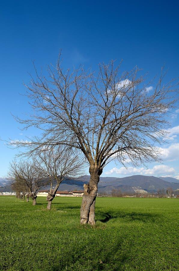 De bomen van de moerbeiboom royalty-vrije stock fotografie