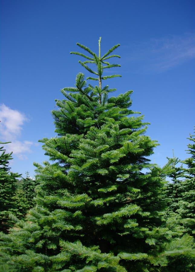 De Bomen van de pijnboom