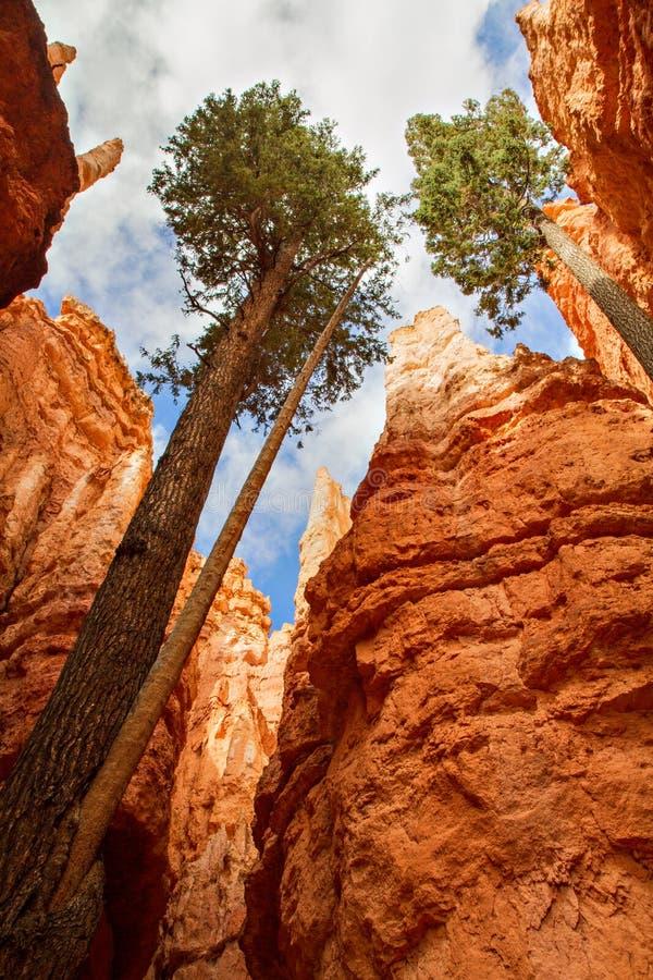 De Bomen van de pijnboom bij Canion Bryce royalty-vrije stock afbeeldingen