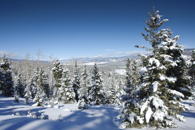 De bomen van de pijnboom in de sneeuw stock foto