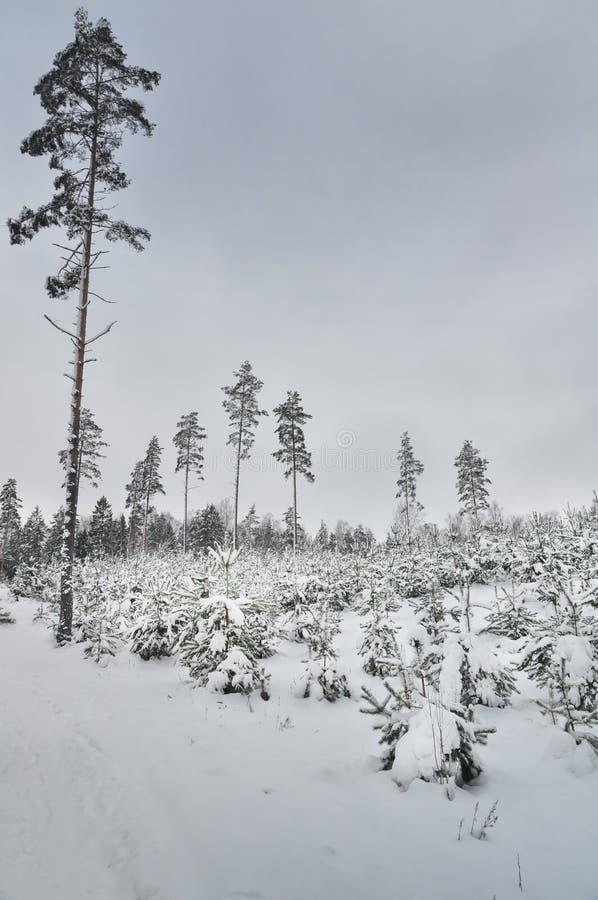 De bomen van de pijnboom in de winter stock afbeeldingen