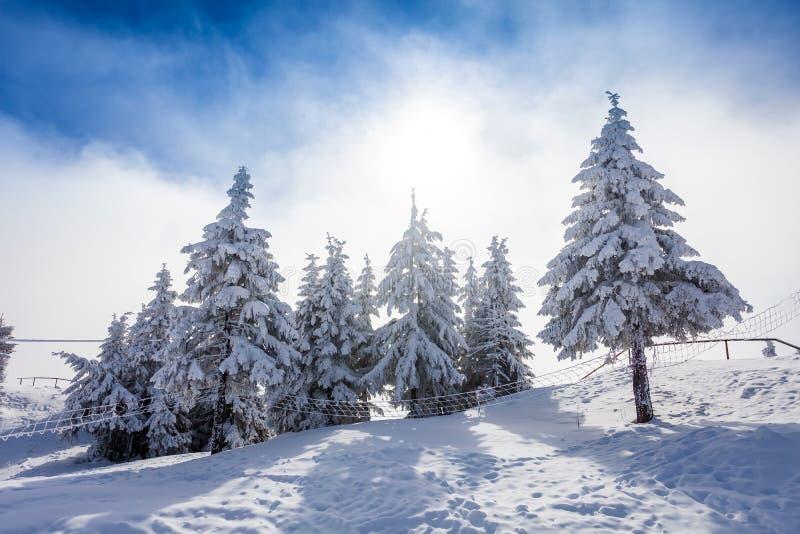De Bomen van de pijnboom die in Sneeuw worden behandeld stock afbeelding