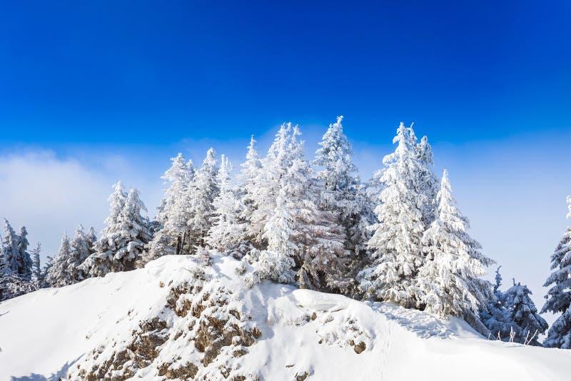 De Bomen van de pijnboom die in Sneeuw worden behandeld royalty-vrije stock fotografie