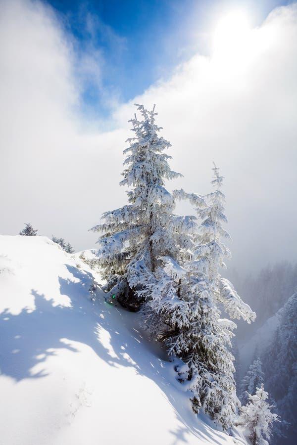 De Bomen van de pijnboom die in Sneeuw worden behandeld royalty-vrije stock afbeelding