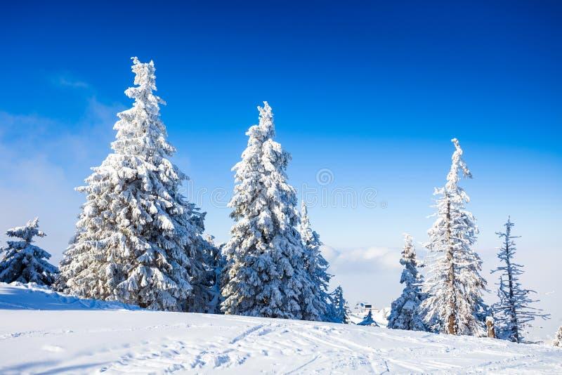 De Bomen van de pijnboom die in Sneeuw worden behandeld stock fotografie