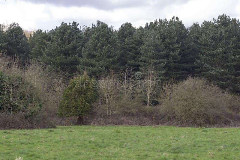 De bomen van de pijnboom in het bos royalty-vrije stock afbeelding