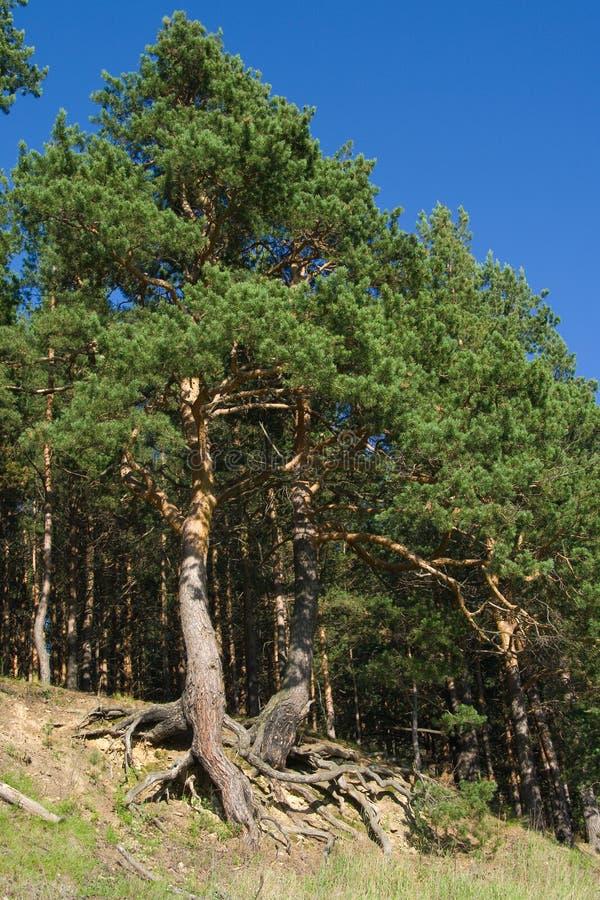 De bomen van de pijnboom met gebogen wortels stock foto's