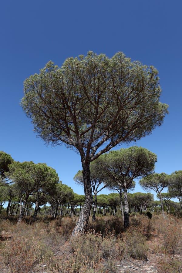 De bomen van de Pijnboom van de steen stock foto's