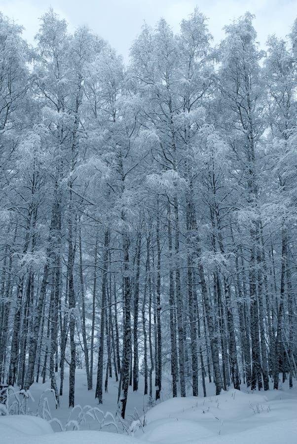 De bomen van de winter die met sneeuw worden behandeld stock foto
